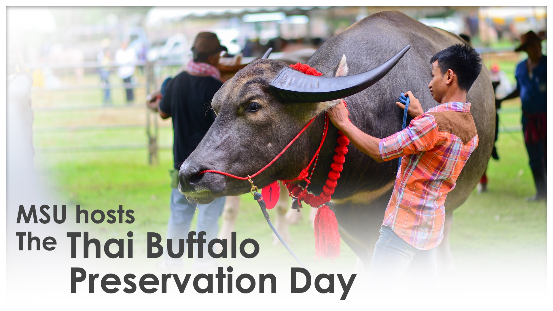 MSU hosts the Thai Buffalo Preservation Day