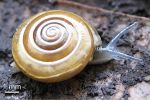 MSU researchers have discovered a new species of land snails in the Northeastern Thailand